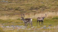 reindeer 13 - stock footage