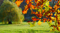 Autumn leafy tree in nature no.01 Stock Footage