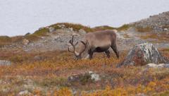 Reindeer 15 Stock Footage