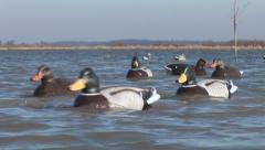Duck Hunting Decoys Stock Footage