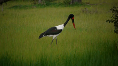 Saddlebilled stork 1 1 Stock Footage