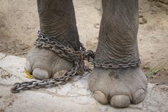 Chained leg elephant Stock Photos