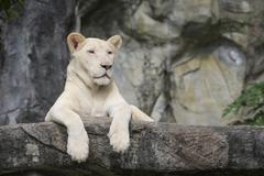 white leo - stock photo