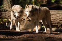Wild animal wolf pair standing playing north american wildlife Stock Photos