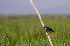 Asian pied starling (sturnus contra) Stock Photos
