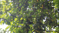 Branches with immature cherry-plum Stock Footage
