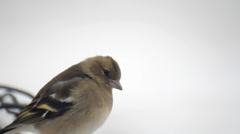 Shchur bird on white snow Stock Footage