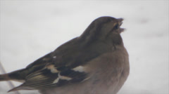Sparrow exfoliates seeds Stock Footage