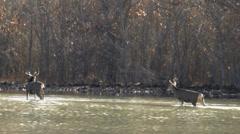Deer Family Trek Through Water Stock Footage