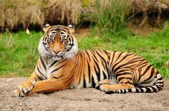 Tiger portrait horizontal Stock Photos