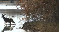 Deer Steps Into Water Stock Footage