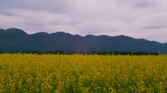 YELLOW MUSTARD FIELD (PAN) # 2 Stock Footage