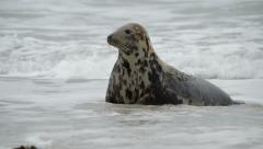 female grey seal watch attentive her pup 11229 - stock footage