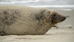 Grey seal rolling in the sand 11231 Stock Footage