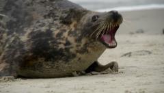 agressiv female grey seal defend their territory 11233 - stock footage