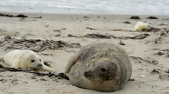 grey seal mother with pup 11236 - stock footage