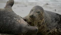 Grey seals during mating ritual 11240 Stock Footage