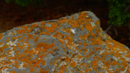 RED SPOTS ON ROCK (PAN) Stock Footage