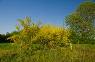 Stock Photo of common broom