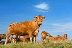 brown limousin cows - stock photo