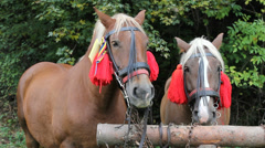 Couple of brown horses Stock Footage