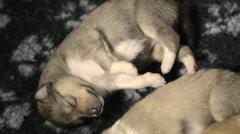 Newborn collie whelps - stock footage