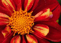 Bright red daisy Stock Photos