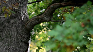 Stock Video Footage of image of oak tree branch and some leaves