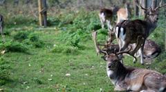 Herd of wild deer with antlers Stock Footage