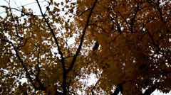 Upward view of the tall maple trees autumn park cinematic Stock Footage