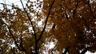 Stock Video Footage of upward view of the tall maple trees autumn park cinematic