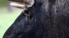 Eyes of the black moose skin Stock Footage