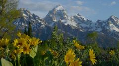 TETON RANGE – MOUNTAINS AND YELLOW DAISIES # 2 Stock Footage