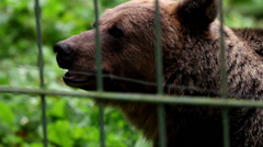 Grizzly brown bear smelling Stock Footage