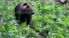 Grizzly brown bear walking in the green luscious area Stock Footage