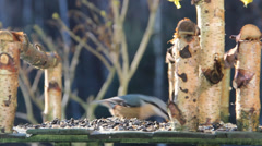 Nuthatch (Sitta europaea) eating sunflower seeds Stock Footage