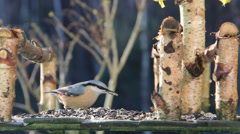 Nuthatch (Sitta europaea) eating sunflower seeds 2 Stock Footage