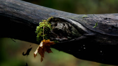 Tree branch with moss and an attached withered leaf Stock Footage