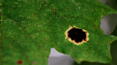 closer image of the black spot of the leaf - stock footage