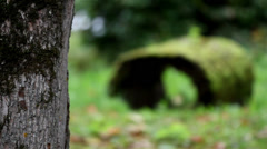 Hollow tree covered in moss Stock Footage