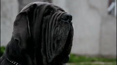 Black neapolitan mastiff Stock Footage