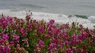 PINK SWEET PEA FLOWERS AND OCEAN WAVES Stock Footage