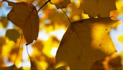 Autumn leaves with sun backlight Stock Footage