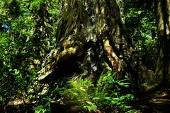 Redwood National Park Giant Redwood Trees - stock photo