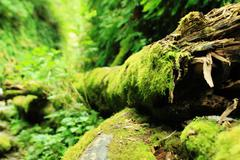 Redwood National Park Moss covered tree in Fern Canyon California USA - stock photo