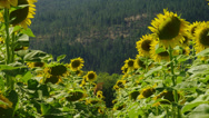 SUNFLOWER FIELD # 2 Stock Footage