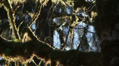 Hoh Rain Forest, Winter, Snow, Olympic National Park Stock Footage