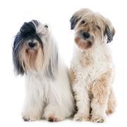 Tibetan terriers Stock Photos