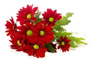 Stock Photo of red spray chrysanthemum