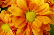 Stock Photo of orange spray chrysanthemum